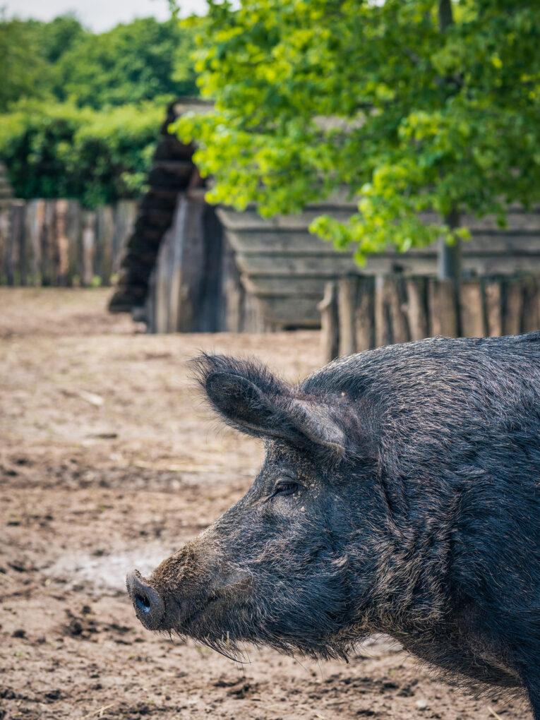 Lauresham, Schwein