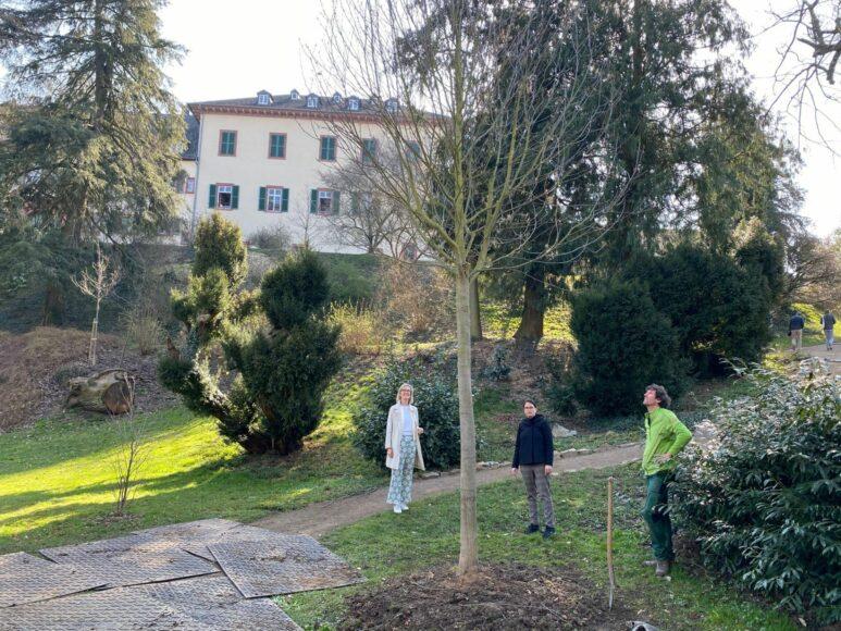 Eine Echte Mehlbeere wurde im Bad Homburger Schlosspark gesetzt