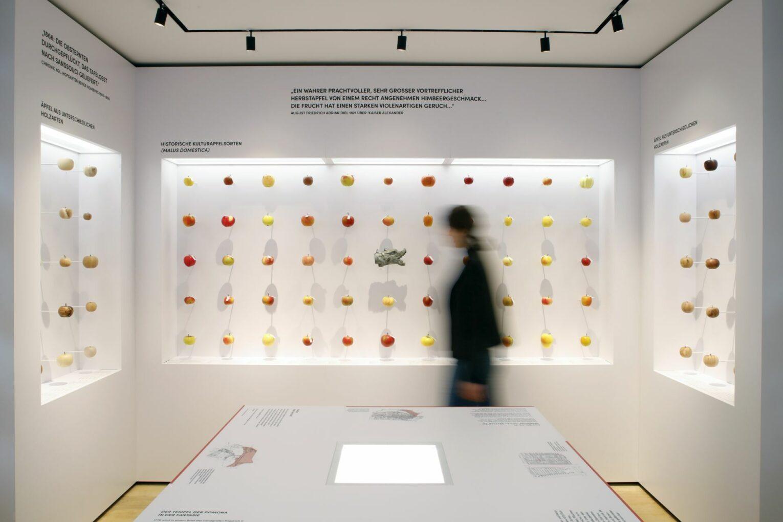 Modelle über Modelle - ein Ziel der Ausstellung ist es, auf die verlorene Vielfalt von Apfel- und Birnensorten aufmerksam zu machen